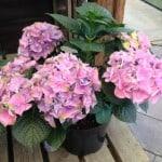 Mop head hydrangea pot grown