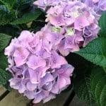 picture of mauve hydrangea