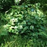 oaklead hydrangea in semi shade