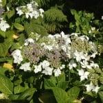 white lacecap hydrangea