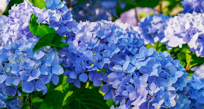 If your looking at pruning your mophead hydrangea then the first thing to note is pruning to late will remove next years flower bugs. They only need pruning if they are old and seen there best or have grown to big.