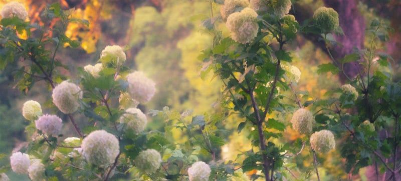 Types of hydrangeas - the guide to 5 types of hydrangeas
