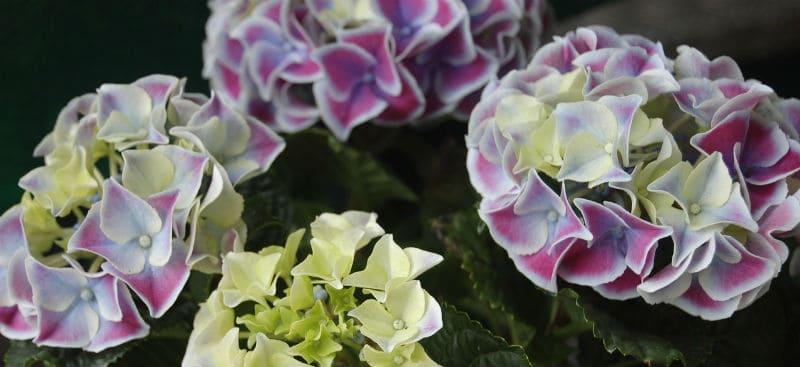 Best plant food for hydrangeas