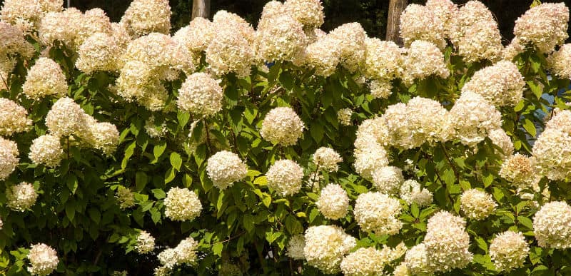 Dividing Hydrangeas - what you need to know