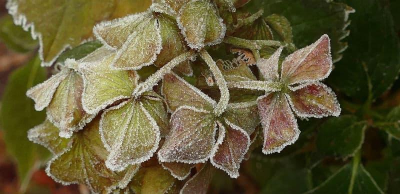 Do I cut back hydrangeas after frost