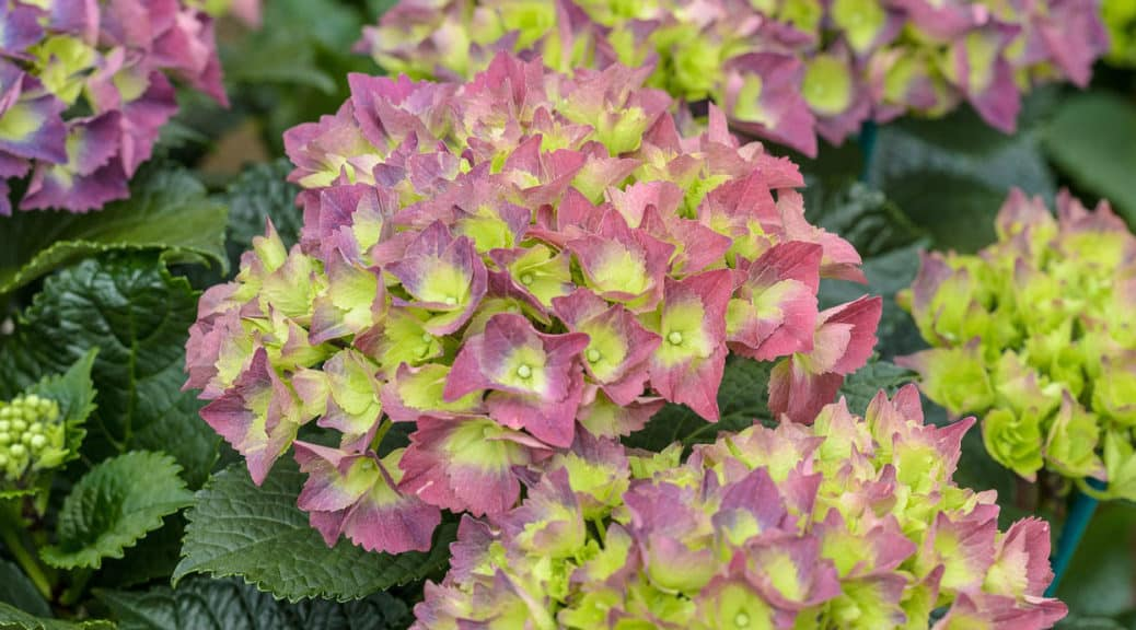 How to make hydrangea bloom - Some common reasons your hydrangea may not be flowering