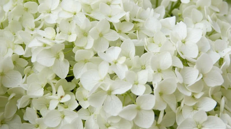 Hydrangea aborescens Annabelle growing guide