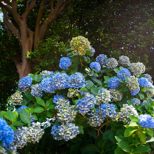 You should also deadhead any fading blooms by clipping them off directly below the flower head so that the shrub is not nearly as heavy on top unnecessarily. It might be beneficial to cut some of the heavier flowers when they are in full bloom and simply arrange them inside your home so that they aren't weighing down on the plant.