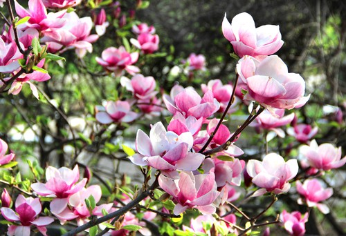 Healthy Magnolia tree not effected by pests that to prevention controls