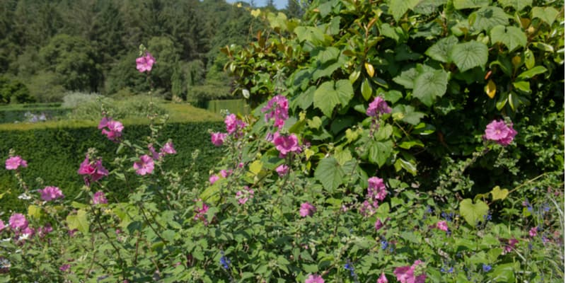 Lavatera is best pruned back hard every year to encourage new flowering stems. Pruning is best done in spring as stems swell.