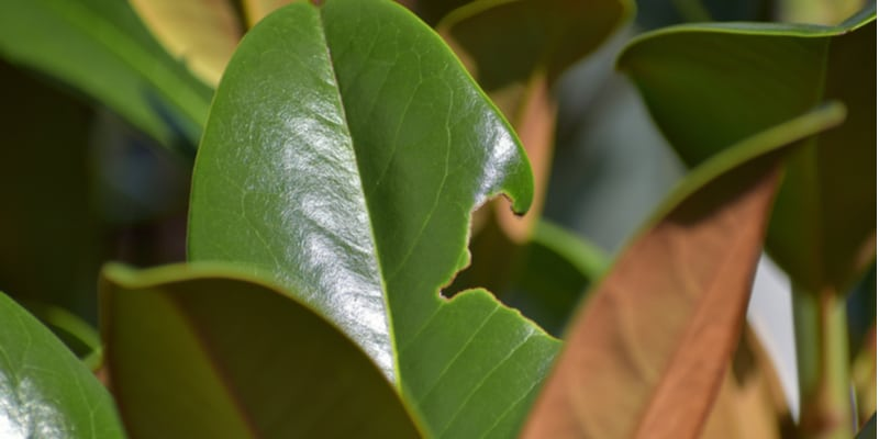 There are a few pest that will eat magnolia leaves, burrow into the stems and eat the flowers.
