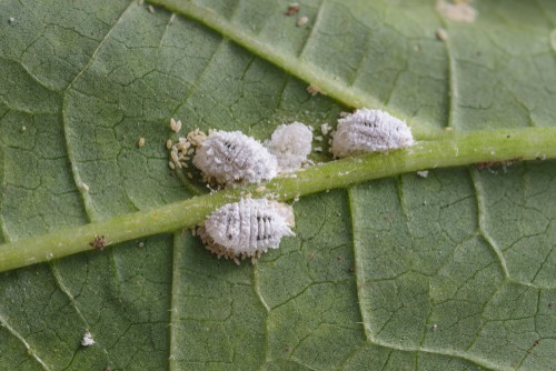 Mealybugs that such on plants foliage to eat sap and damaged foliage