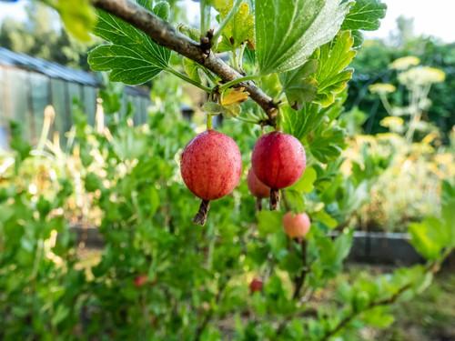 Ripe gooseberries ready for picking to eat fresh