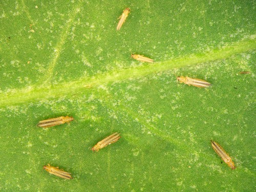 thrips leaves holes in cordyline leaves