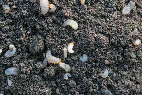 Vine weevil Larvae
