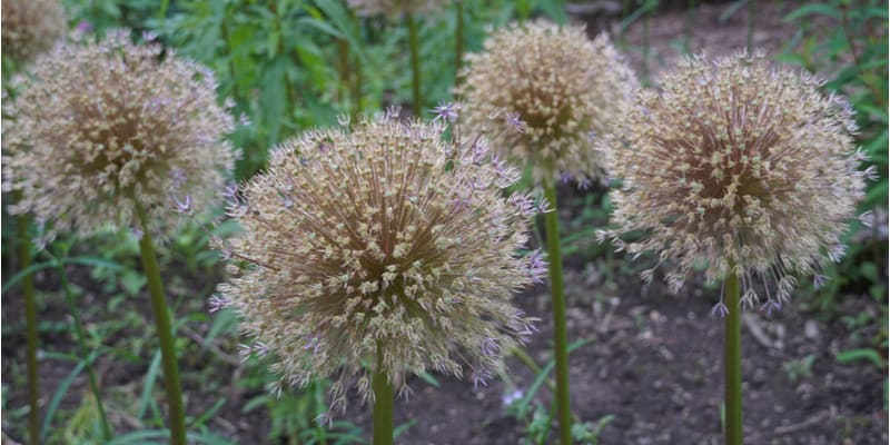 Alliums are spectacular plants. In this guide, I show you what to do with alliums after flowering from cutting back to dividing bulbs