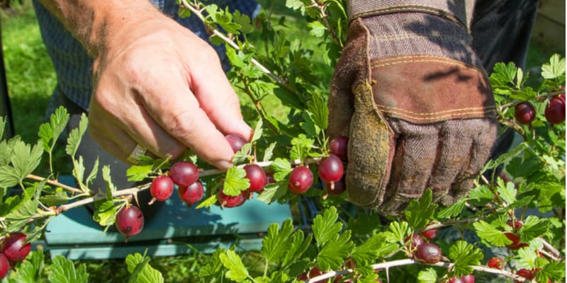 I often get asked when to pick gooseberries but there are two answers for this as it depends on what here used for, ie cooking or eating fresh