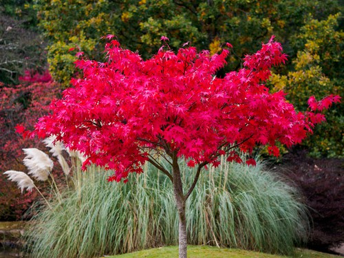 Acer tree with autumn colour