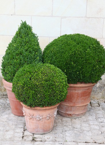 Buxus topiary which have been neatly pruned