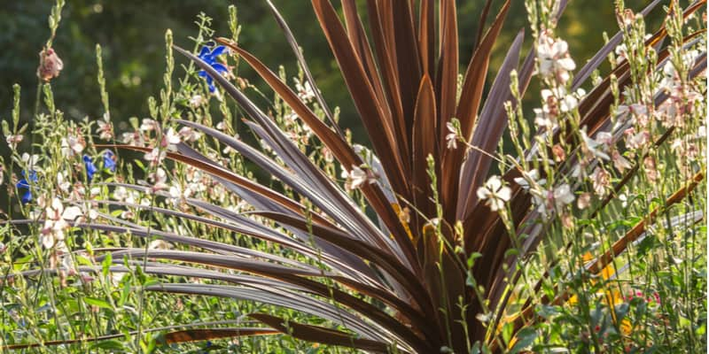 Cordylines are low maintenance in general but they can suffer from a few cordyline problems from pests and diseases.