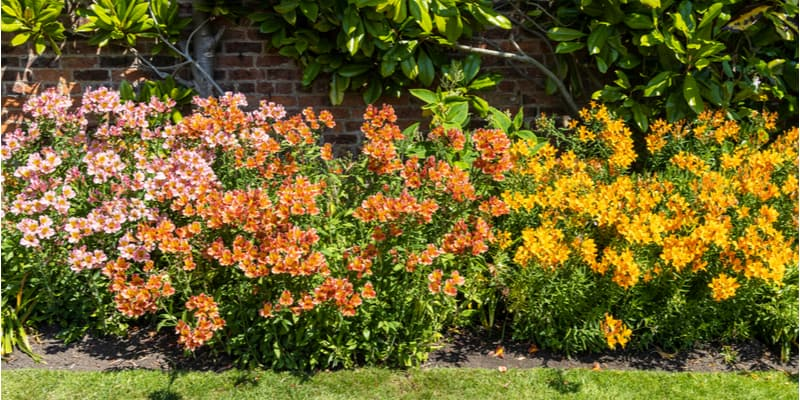 Learn how to divide alstroemeria but more importantly when to divide them. In general this would be around April but it depends on when they flower.