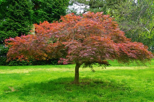 Japanese Maple tree maintained with light pruning