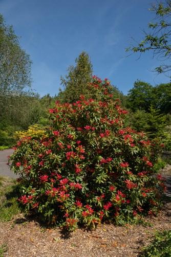 Large bushy pieris
