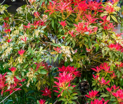 Pieris japonica which will benefit from a light pruning after flowering