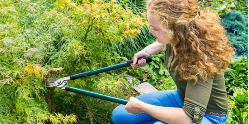 I discuss how and when to prune acer trees several techniques. ideally you need to prune when its dormant.