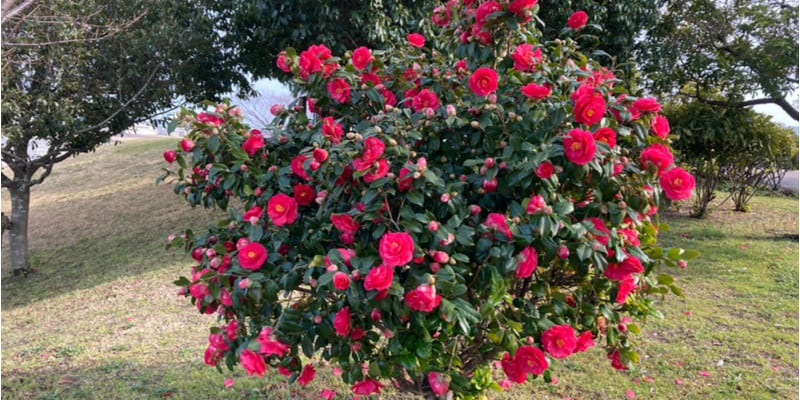 Pruning camellias and the best time to prune