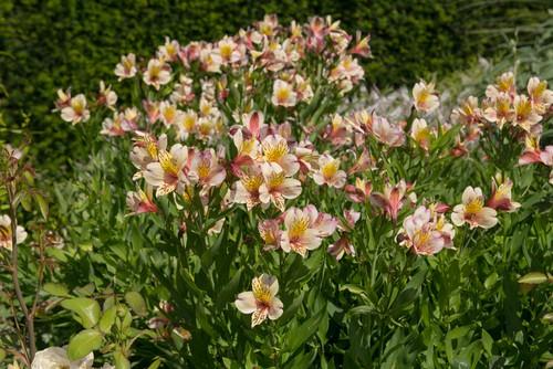 Summer flowering alstroemeria