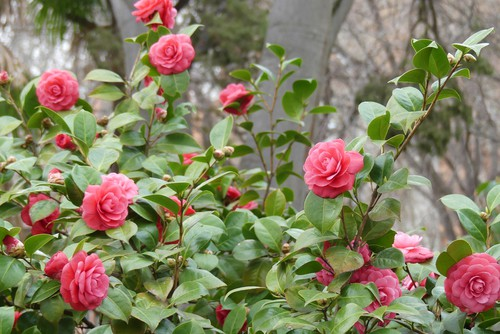 When to prune camellias