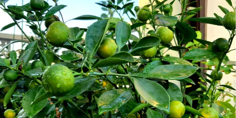 There are a few reasons why your lemon tree might be dropping the baby lemons from aphids to growing conditions. Learn more
