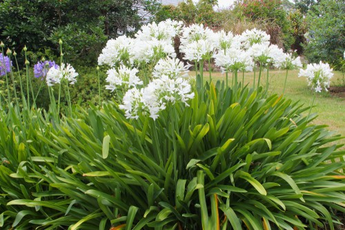 when to divide agapanthus
